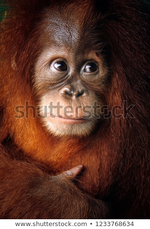 Orangutan alone Stock photo © KMWPhotography