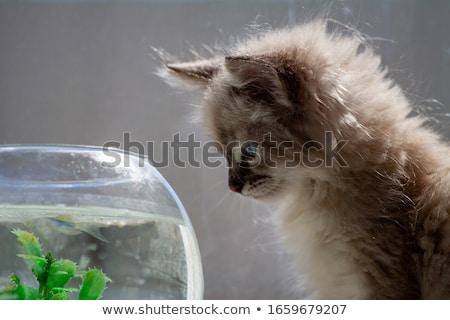 cat and goldfish stock photo © c-foto