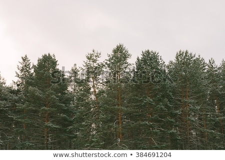 Winter Coniferous Tree Stock photo © derocz