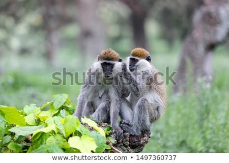 vervet monkey cercopithecus pygerythrus stock photo © dirkr