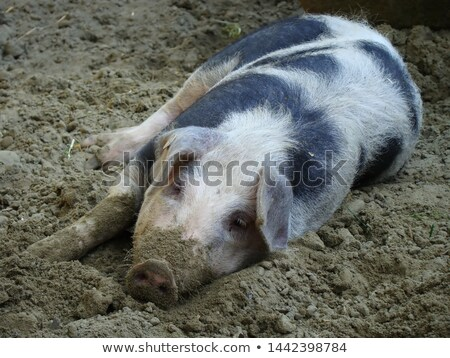Varken vuil zwarte veld boerderij dier Stockfoto © rhamm