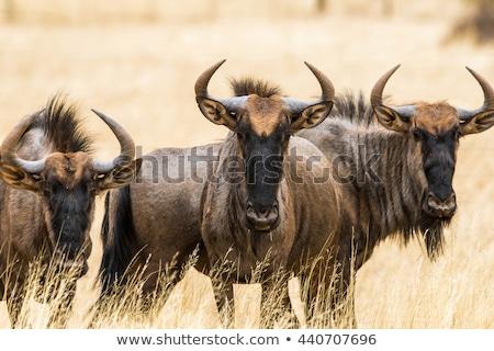 Blue wildebeest portrait Stock photo © EcoPic