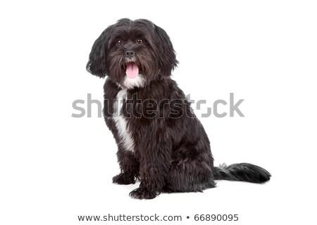aranyos · vegyes · fajta · kutya · fehér · stúdió - stock fotó © eriklam