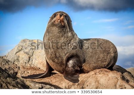 New Zealand Fur Seal on rock Stock photo © Hofmeester