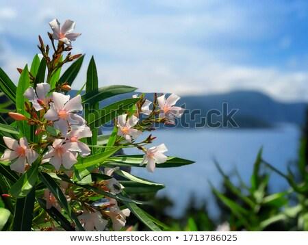 Blossom · дерево · синий · воды · побережье · острове - Сток-фото © olandsfokus