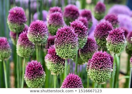 çiçekler güzel mor doğa bahçe Stok fotoğraf © chris2766