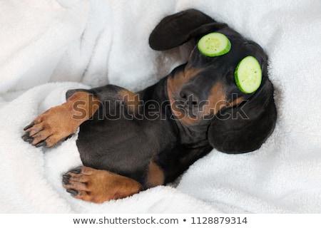 kort · haar · puppy · teckel · portret · witte · gelukkig - stockfoto © hsfelix
