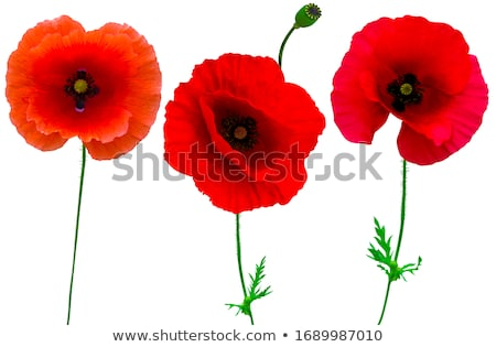 red papaver poppy flower Stock photo © compuinfoto