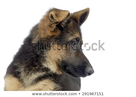 vuelo · orejas · cachorro · pastor · retrato · blanco - foto stock © vauvau