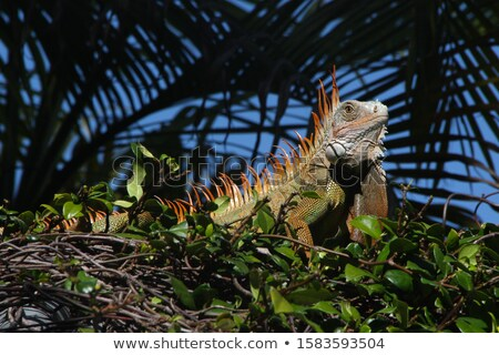 Iguana in palm tree Stock photo © backyardproductions