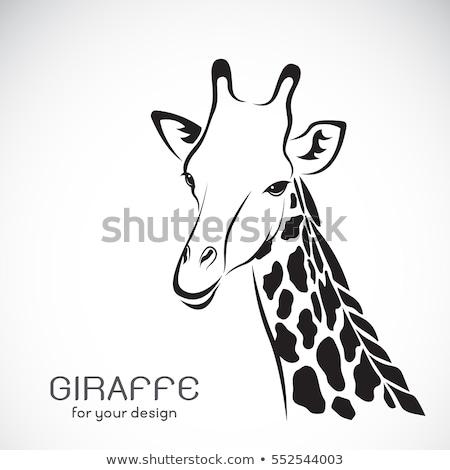 動物 キリン 実例 背景 ストックフォト © colematt