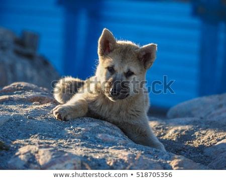 Арктика · волка · щенков · ребенка · глаза · лице - Сток-фото © maridav