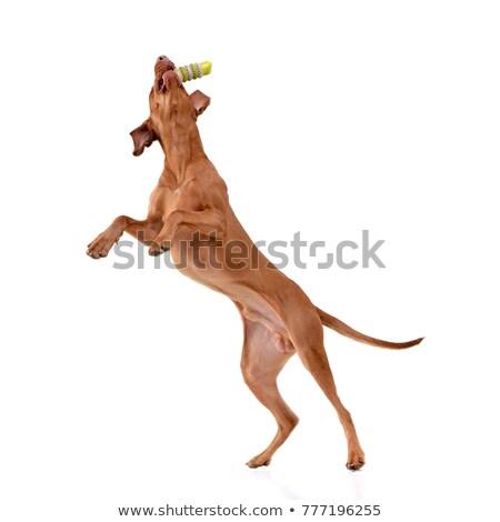 An adorable hungarian vizsla catching a rubber stick Stock photo © vauvau