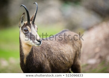 Chamois (Rupicapra rupicapra) within its natural habitat  Stock photo © lightpoet