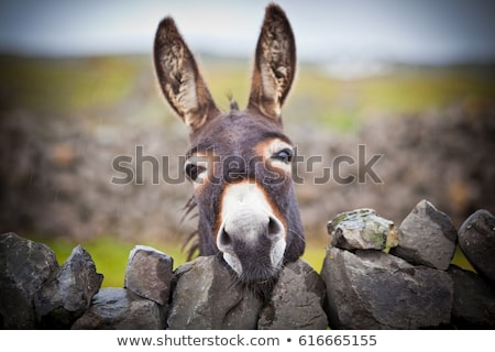 Nice domestic donkey Stock photo © Anna_Om