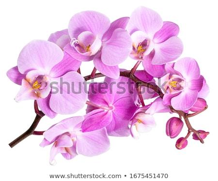 орхидеи розовый черный специи лепестков изолированный Сток-фото © asturianu