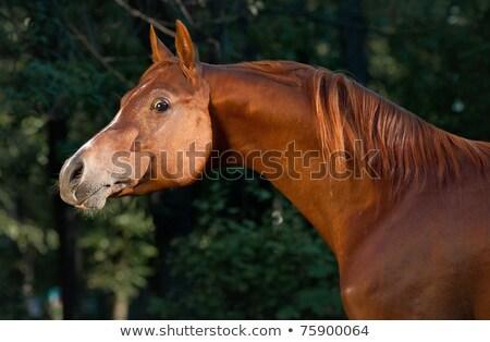 Red arabian horse portrait in darkgreen Stock photo © olgaru79
