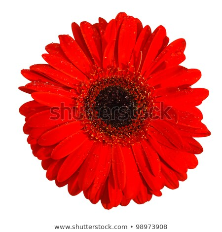 Red gerbera flower front view close up Stock photo © calvste