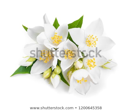 flowers of jasmine Stock photo © Masha