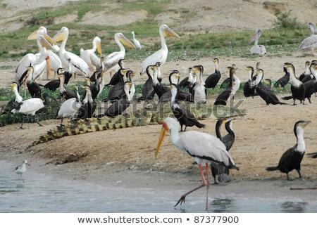 Vogels krokodil Oeganda koningin park afrika Stockfoto © prill