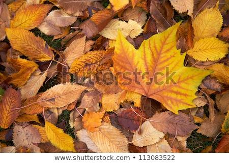 ősz · liget · csodálatos · őszi · arany · levelek - stock fotó © zhukow