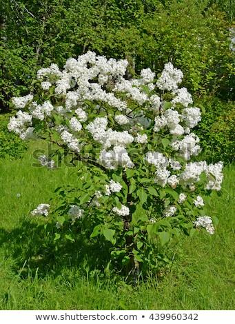 lilac bush in the spring stock photo © kotenko