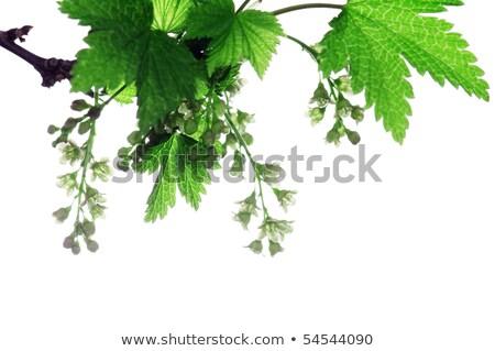 zwarte · bes · selectieve · aandacht · bloem · voorjaar - stockfoto © vavlt