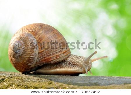 garden snail (Helix aspersa) Stock photo © brulove