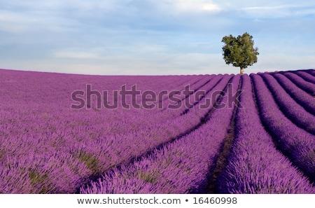 豊富な ラベンダー畑 風景 ファーム 紫色 行 ストックフォト © vwalakte