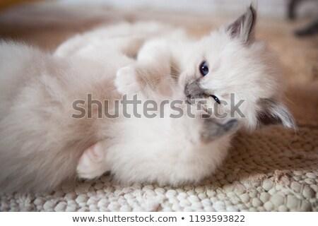 котенка белый глазах кошки синий играть Сток-фото © cynoclub