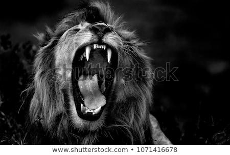 Oroszlán művészi feketefehér kép Afrika fogak Stock fotó © Donvanstaden