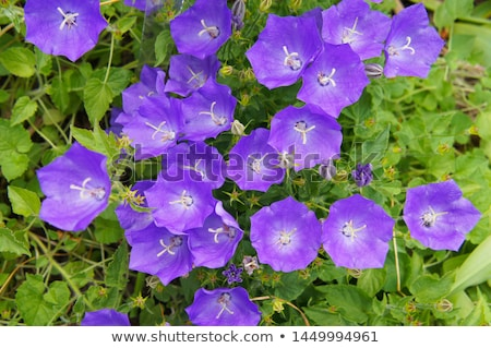 campanula bellflowers stock photo © taden
