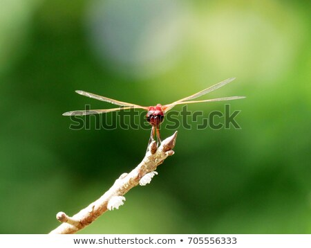 Front View of a Red Dragonfly Perched on a Branch Stock photo © bradleyvdw
