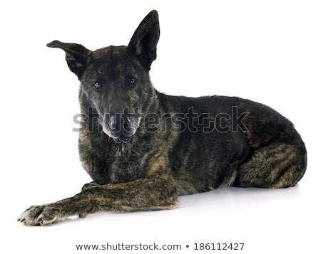 holland · juhász · kutya · izolált · fehér · díszállat - stock fotó © cynoclub