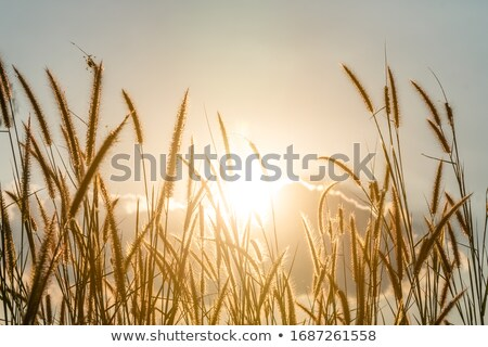wheat grass in the wind  Stock photo © compuinfoto