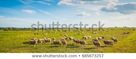 Schapen weide bergen boerderij witte Stockfoto © Fotografiche
