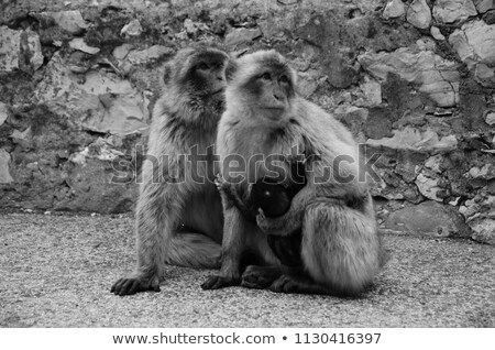 wild macaque in the Rock of Gibraltar, black and white Stock photo © nito