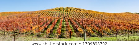 Yellow Leaves Vines Rows Grapes Fall Vineyards Red Mountain Bent Stock photo © billperry