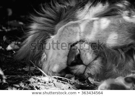 alszik · oroszlán · park · Dél-Afrika · állatok · fotózás - stock fotó © simoneeman
