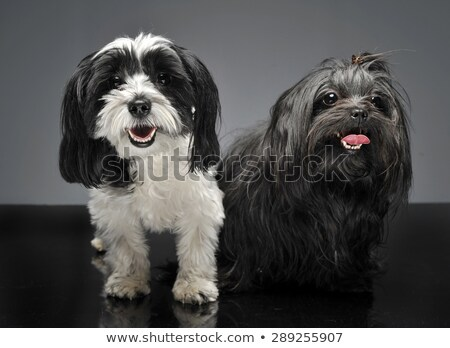 shi tzu and a havanese are sitting in gray studio and looks at y Stock photo © vauvau