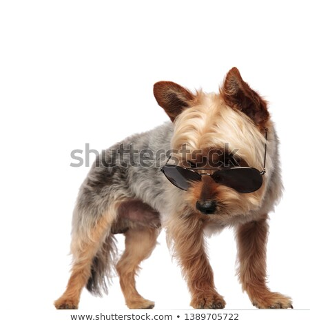 Yorkshire terrier looking down in a white photo studio Stock photo © vauvau