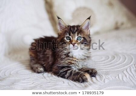 Мэн котенка синий кошки фон голову Сток-фото © ivonnewierink