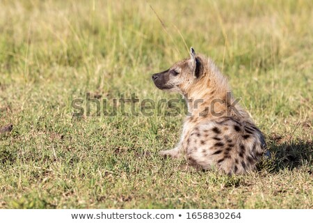 Side profile of a young Spotted hyena. stock photo © simoneeman