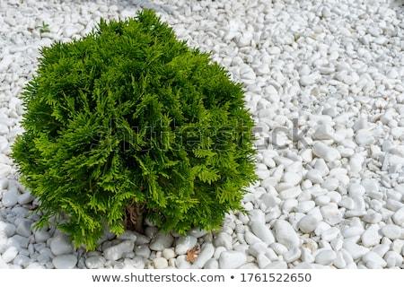 Tűlevelű örökzöld fa kicsi levelek végtelenített Stock fotó © tashatuvango