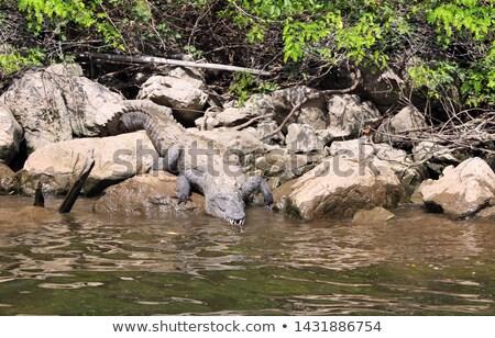 Crocodile On Grijalva River Mexico Stock photo © THP