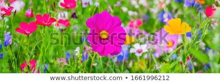 области цветы ромашка василек красивой цветок Сток-фото © romvo