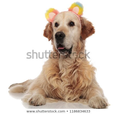 Stock photo: cute labrador wearing colorful ears headband looks to side