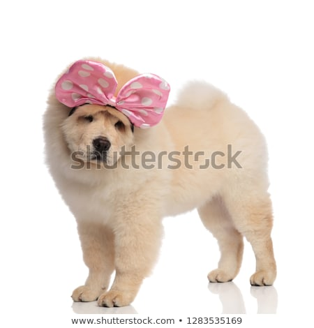 side view of curious chow chow with ribbon looking down Stock photo © feedough