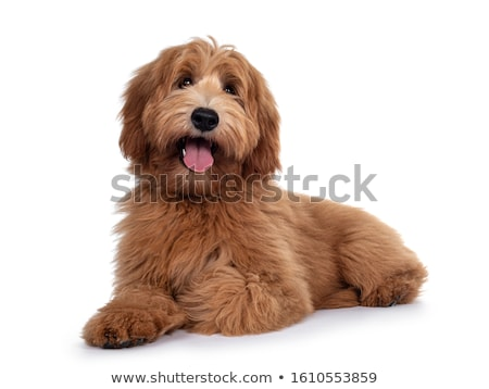 cute dog on a white background stock photo © Lupen
