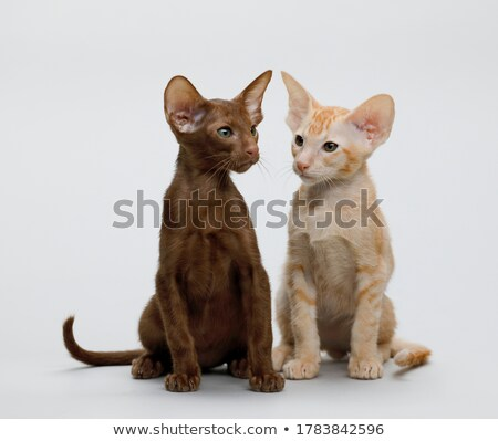кошки портрет белый животного студию Сток-фото © cynoclub